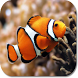 Clown Fish HD Wallpapers by HD Wallpaper Developers
