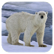 Polar bear HD. Video Wallpaper by tbem