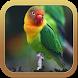 Masteran Lovebird Juara by ard app
