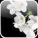Lovely Sakura Live Wallpaper by MyLe Studios