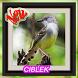 Ocehan Kicau Burung Ciblek by CaolaDev