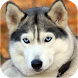 Imagenes Husky HD by Megadreams Mobile