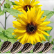 Health Benefits of Sunflower by bluebirdmedia