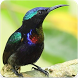 Suara Burung Kolibri : Kicau Burung Kolibri by Nic and Chloe Studio