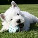 Highland White Terrier Jigsaw by redzpetz