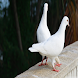 Pigeon Wallpapers by sangam
