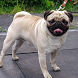 Pug HD Pictures Jigsaw Puzzles by demu0rg