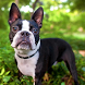 Boston Terriers Wallpapers by fansofdogs
