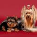 Yorkshire Terrier Dogs Jigsaw by redzpetz