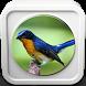 Kicau Burung Tledekan by Omah Pandega