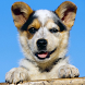 Australian Cattle Dog Puzzle by dogpuzzles