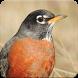 Robin Bird Sounds : Robin Bird Singing by Nic and Chloe Studio