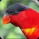 Suara Masteran Burung Nuri : Suara Burung Nuri