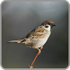 Kicau Burung Gereja Tarung Gacor