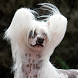 Chinese Crested Dog Wallpapers by fansofdogs