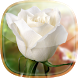 White Rose Live Wallpaper by Free Sky and Beautiful Queen Earth