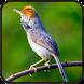 Kicau Burung Prenjak Gacor by Wahyu app