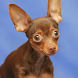 Russ Toy Terrier Images Jigsaw by demu0rg