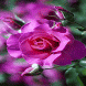 Pink Shiny Rose LWP by Daksh Apps