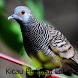 Kicau Perkutut Lokal by Tidut app