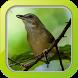Masteran Burung Hwamei