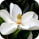 Magnolia Live Wallpaper by WpStar