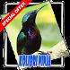 Ocehan Kolibri Terbaik by CaolaDev