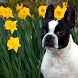 Boston Terrier Dogs Puzzles