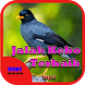 Suara Burung Jalak Kebo Terbaik by Hoki Developer