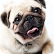 Pug Dog Live Wallpaper by FunGames10