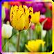 Flower Rose Tulip Wallpaper by Pokkawa