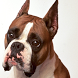 Boxer Dogs Jigsaw Puzzles