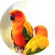 Sun conure bird sounds by Chatree Bamrung