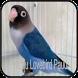 Kicau Lovebird Paud Ngekek Panjang by Wahyu app