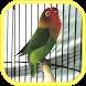 Master Kicau Lovebird Unggulan by A Abqoriyah I
