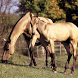 Horse HD Jigsaw Puzzles by borzoapps