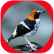 Yenisu: Suara Burung Anis Lomba Juara by Yenisu