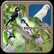 canto do pássaro sibite by Tahu Bulat App