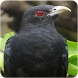 Asian Koel Song : Asian Koel Bird Sounds & Singing by Nic and Chloe Studio