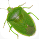 Stink Bug Decision Aid by NC State University