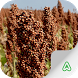 Sorghum Pests by Agrimind Apps