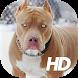 Pitbull Wallpaper HD