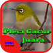 Suara Burung Pleci Gacor Juara by Hoki Developer