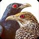 Asian Koel Bird Sounds : Indian Koyal Bird Sounds by Nic and Chloe Studio
