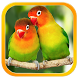 Lovebird Sounds : Lovebird Singing by Nic and Chloe Studio