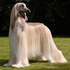 Afghan Hounds Jigsaw Puzzle by dogpuzzles