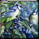 Blue Jay Bird Sounds by Bagoez Studio