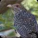 Common Koel Bird Sound : Eastern Common Koel Song