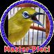 Masteran Pleci MP3