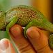 Chameleoons Wallpaper Images